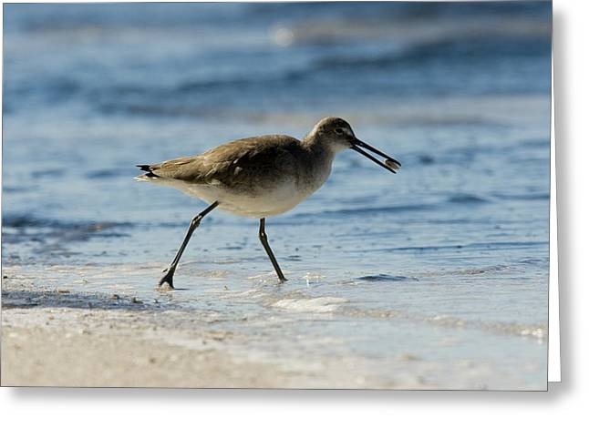 Closeup Of A Willet Catoptrophorus Greeting Card by Tim Laman