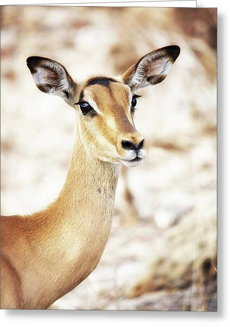Closeup Of Impala In South Africa Greeting Card by Susan Schmitz