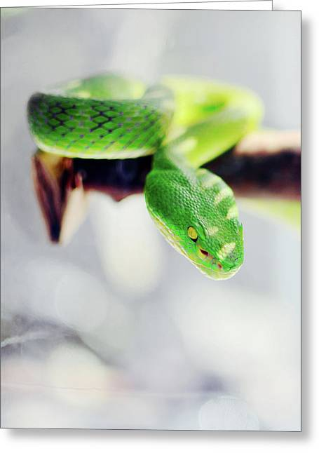 Closeup Of Poisonous Green Snake With Yellow Eyes - Vogels Pit Viper  Greeting Card