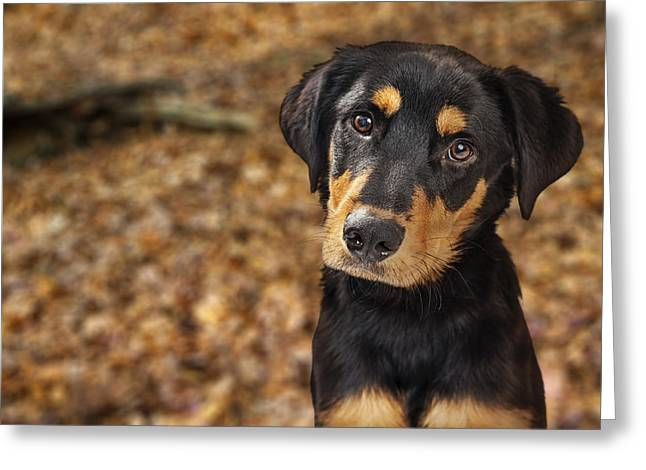 Closeup Of Rotweiller Puppy In Autumn Leaves Greeting Card by Susan Schmitz