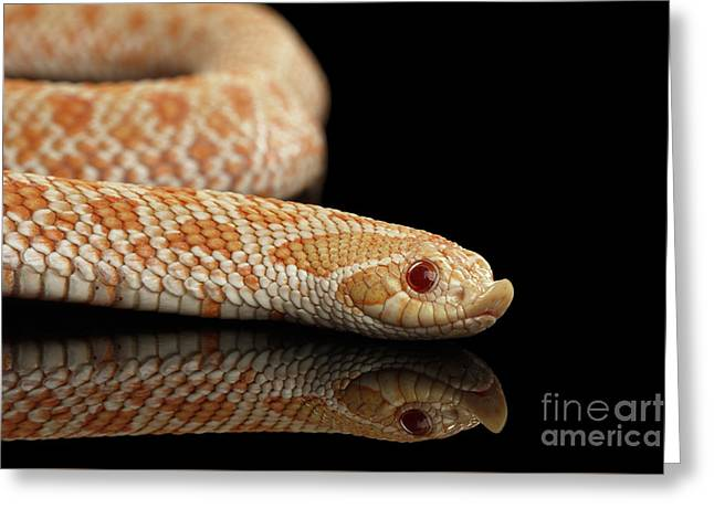 Closeup Pink Pastel Albino Western Hognose Snake, Heterodon Nasicus Isolated On Black Background Greeting Card