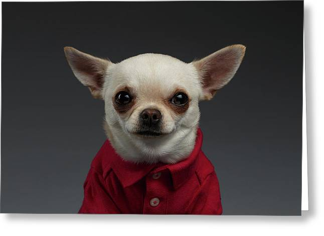 Closeup Portrait Chihuahua Dog In Stylish Clothes. Gray Background Greeting Card