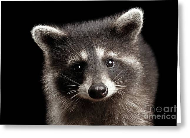 Closeup Portrait Cute Baby Raccoon Isolated On Black Background Greeting Card