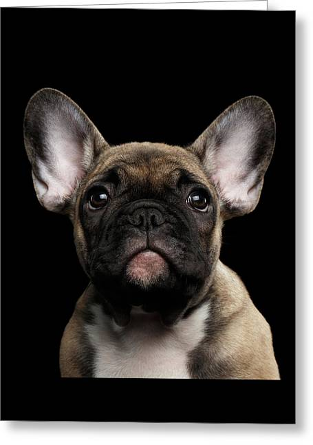 Closeup Portrait French Bulldog Puppy, Cute Looking In Camera Greeting Card