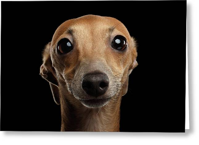Closeup Portrait Italian Greyhound Dog Looking In Camera Isolated Black Greeting Card by Sergey Taran