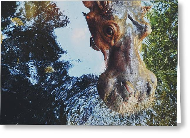 Closeup Portrait Of A Hippo/hippopotamus Looking At The Camera Greeting Card
