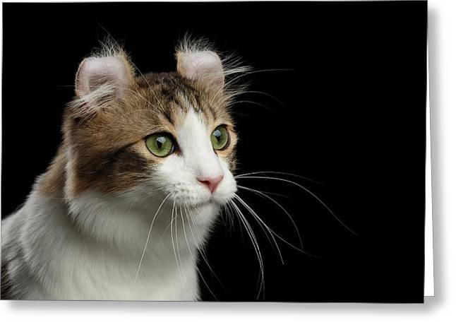 Closeup Portrait Of American Curl Cat On Black Isolated Background Greeting Card by Sergey Taran
