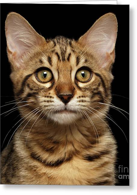 Closeup Portrait Of Bengal Kitty Isolated Black Background Greeting Card by Sergey Taran