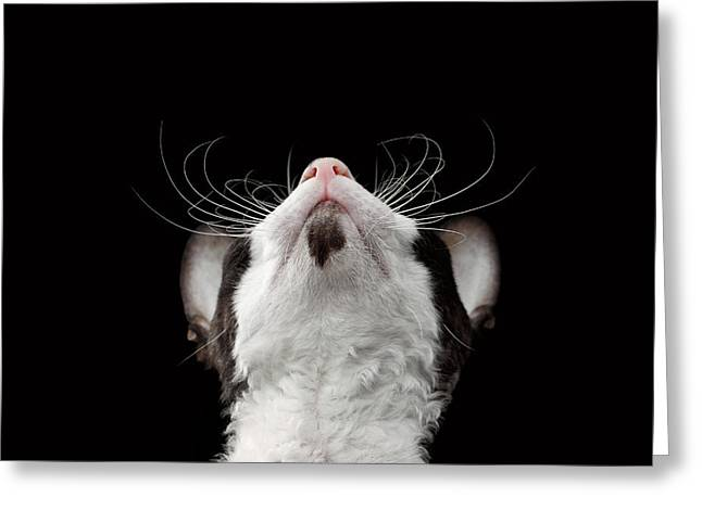 Closeup Portrait Of Cornish Rex Looking Up Isolated On Black  Greeting Card