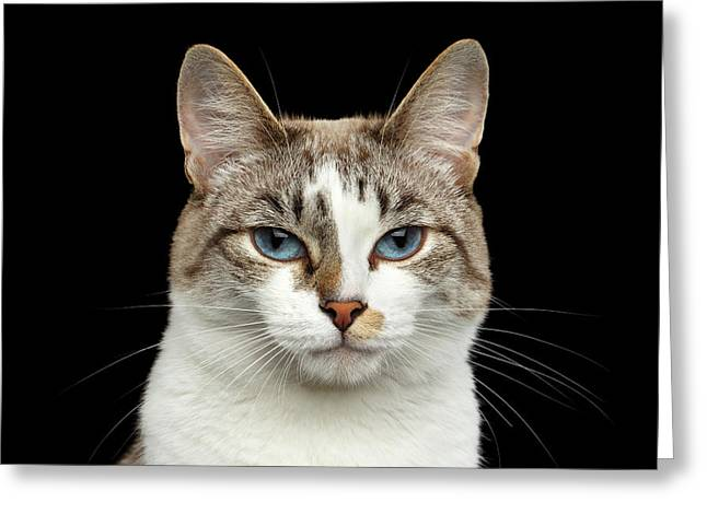 Closeup Portrait Of Face White Cat, Blue Eyes Isolated Black Background Greeting Card