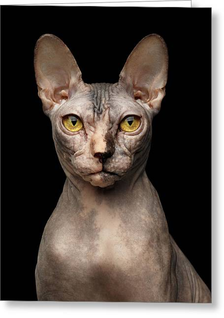 Closeup Portrait Of Grumpy Sphynx Cat, Front View, Black Isolate Greeting Card