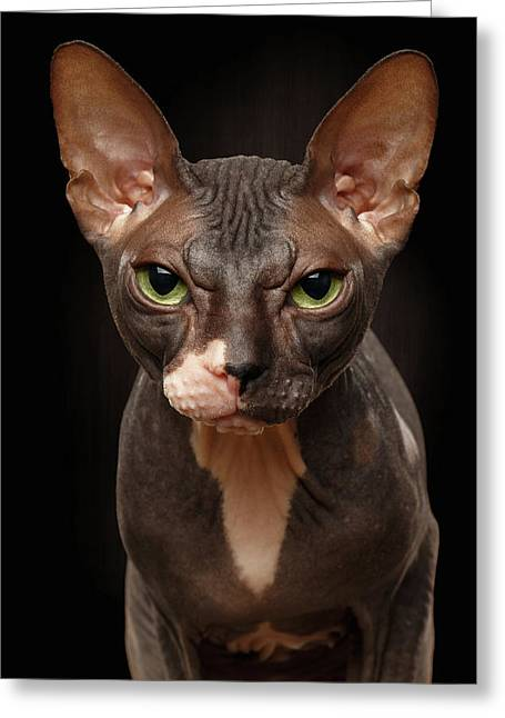 Closeup Portrait Of Grumpy Sphynx Cat Front View On Black  Greeting Card by Sergey Taran