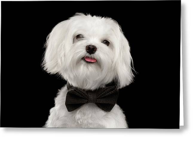 Closeup Portrait Of Happy White Maltese Dog With Bow Looking In Camera Isolated On Black Background Greeting Card