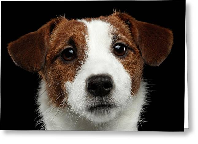 Closeup Portrait Of Jack Russell Terrier Dog On Black Greeting Card by Sergey Taran
