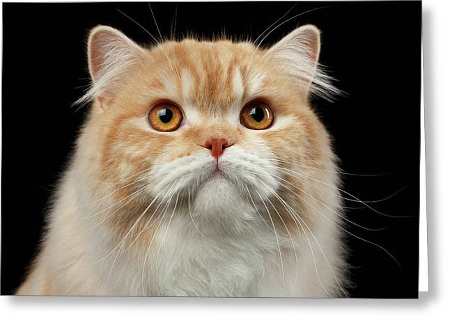 Closeup Portrait Of Red Big Persian Cat Angry Looking On Black Greeting Card