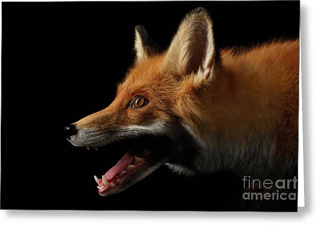 Closeup Portrait Of Red Fox In Profile Isolated On Black  Greeting Card