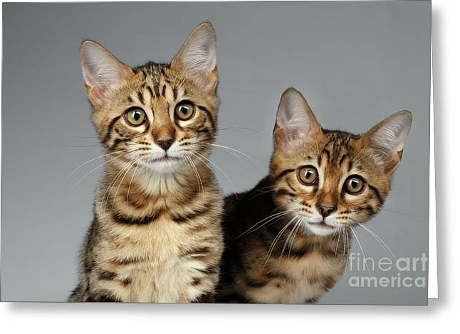 Closeup Portrait Of Two Bengal Kitten On White Background Greeting Card by Sergey Taran