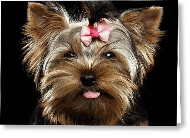 Closeup Portrait Of Yorkshire Terrier Dog On Black Background Greeting Card
