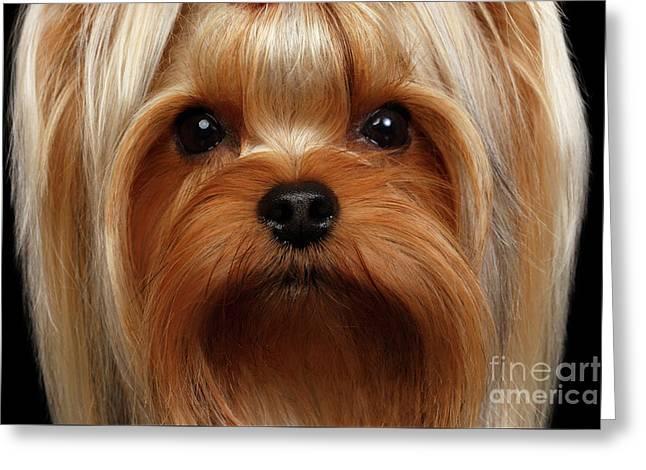 Closeup Portrait Yorkshire Terrier Dog On Black Greeting Card by Sergey Taran