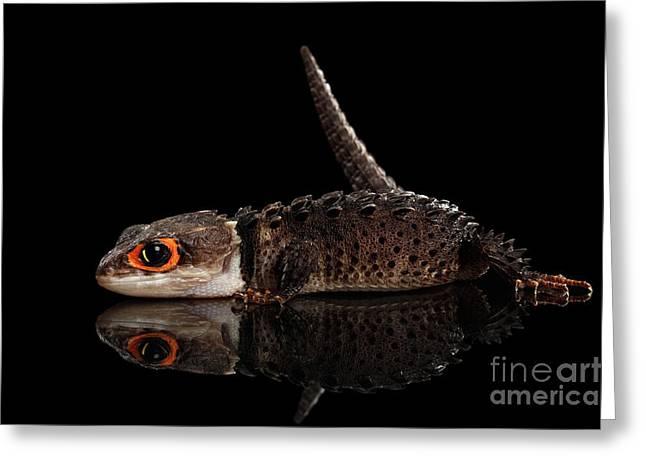 Closeup Red-eyed Crocodile Skink, Tribolonotus Gracilis, Isolated On Black Background Greeting Card
