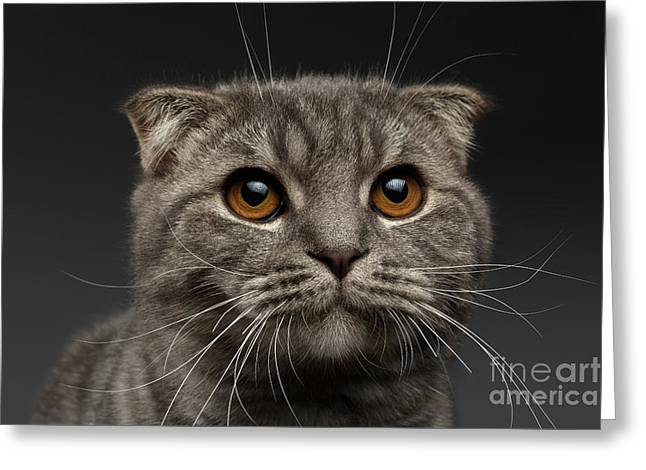 Closeup Scottish Fold Cat On Black Greeting Card by Sergey Taran