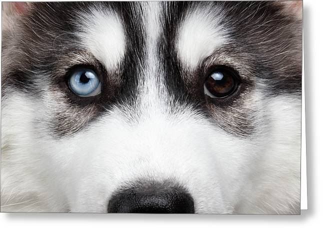 Closeup Siberian Husky Puppy Different Eyes Greeting Card