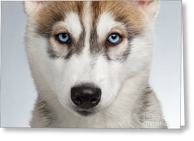 Closeup Siberian Husky Puppy With Blue Eyes On White  Greeting Card by Sergey Taran