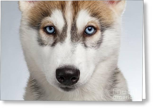 Closeup Siberian Husky Puppy With Blue Eyes On White  Greeting Card by Sergey Taran