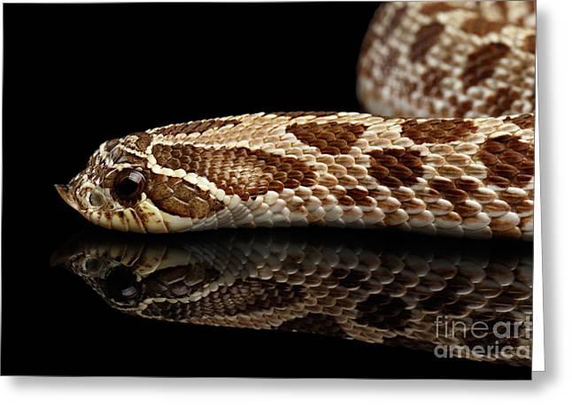 Closeup Western Hognose Snake, Isolated On Black Background Greeting Card