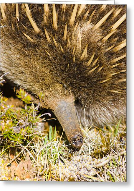 Closeup Wildlife Photo On The Snout Of An Echidna Greeting Card by Jorgo Photography - Wall Art Gallery