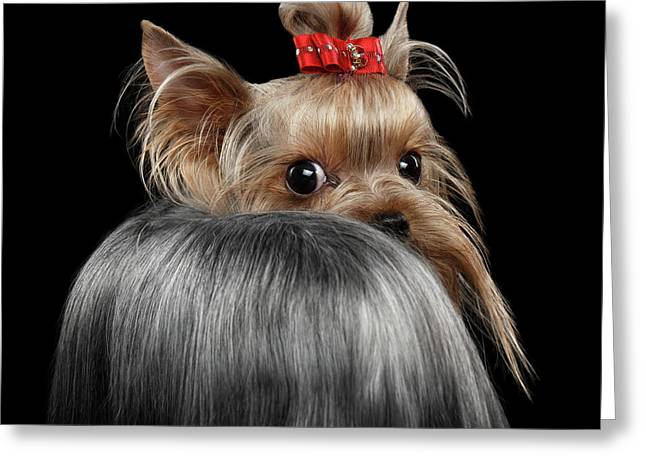 Closeup Yorkshire Terrier Dog, Long Groomed Hair Pity Looking Back Greeting Card