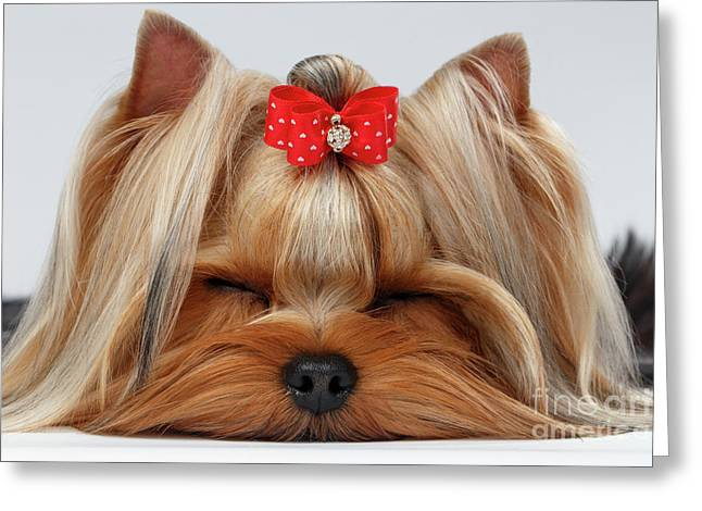 Closeup Yorkshire Terrier Dog With Closed Eyes Lying On White  Greeting Card