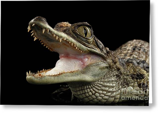 Closeup Young Cayman Crocodile, Reptile With Opened Mouth Isolated On Black Background Greeting Card