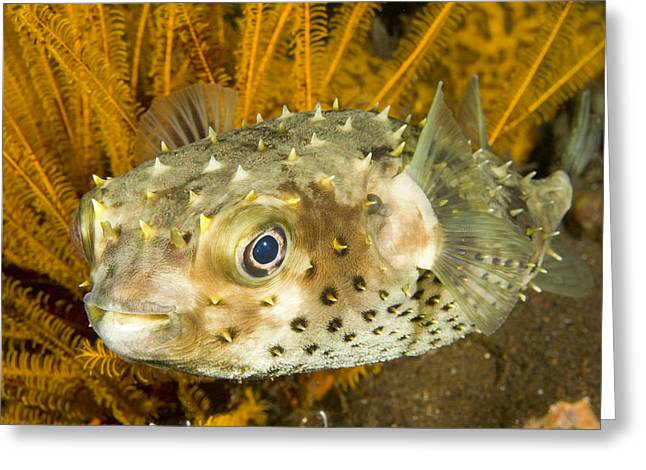 Closeupf Of A Yellowspotted Burrfish Greeting Card