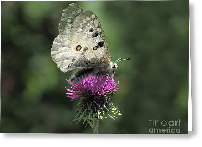 Clouded Apollo Butterfly Greeting Card