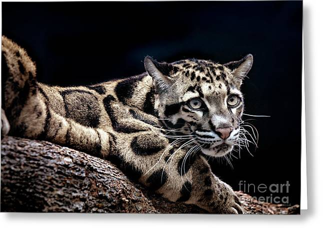 Greeting Card featuring the photograph Clouded Leopard by David Millenheft