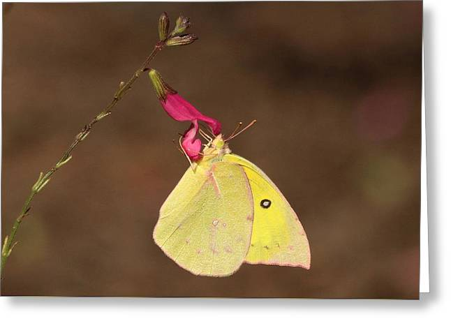 Clouded Sulphur Butterfly On Pink Wildflower Greeting Card