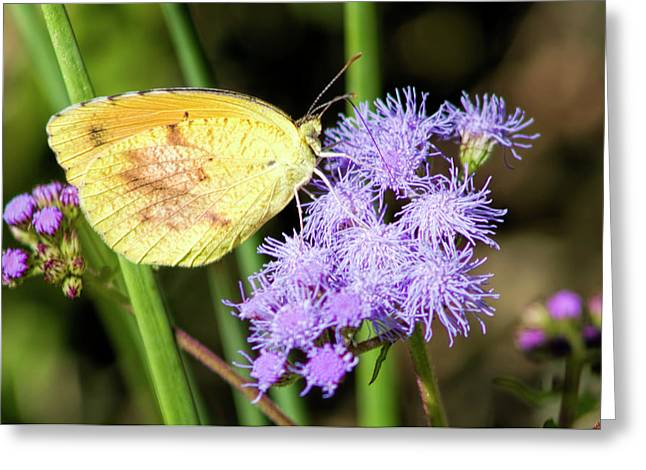 Cloudless Sulfur Butterfly On Ageratum Wildflower Greeting Card by Kathy Clark