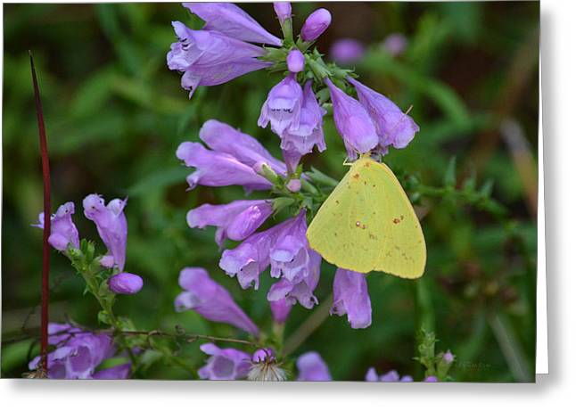 Cloudless Sulfur - Obedient Plant Greeting Card