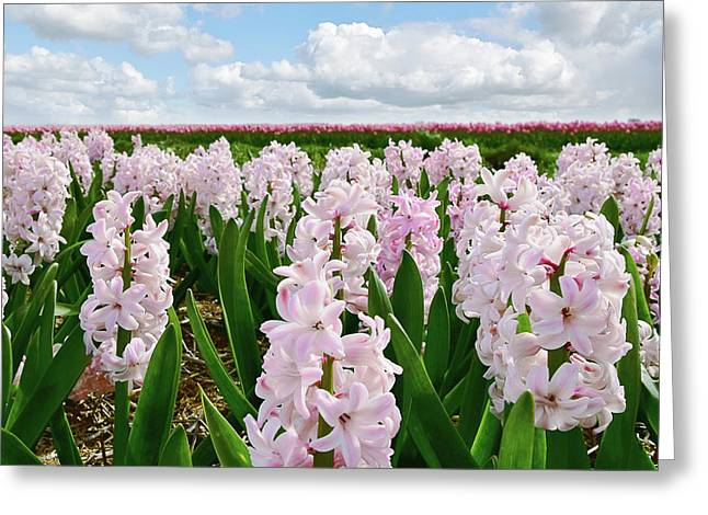 Clouds Over The Pink Hyacinth Field Greeting Card
