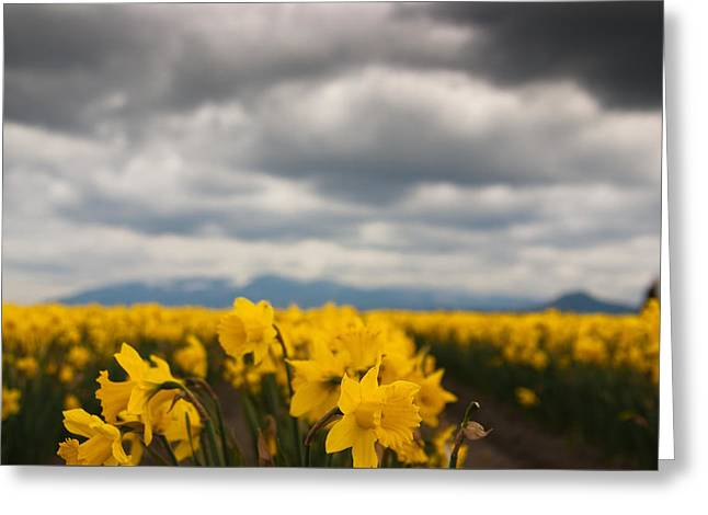 Greeting Card featuring the photograph Cloudy With A Chance Of Daffodils by Erin Kohlenberg