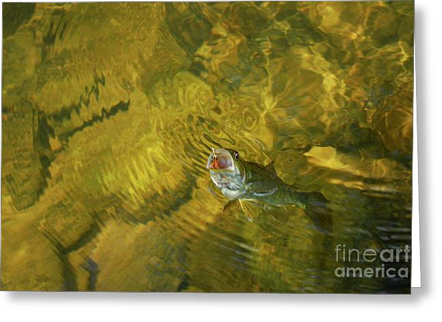 Minnows Greeting Cards - Clouser Smallmouth Greeting Card by Randy Bodkins