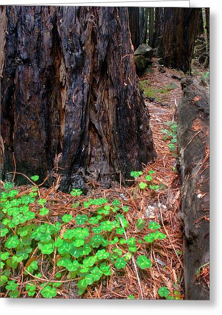 Clover And Redwood Greeting Card by Charlie Hunt