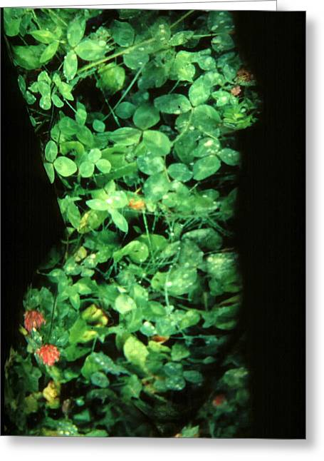 Clover Greeting Card by Arla Patch