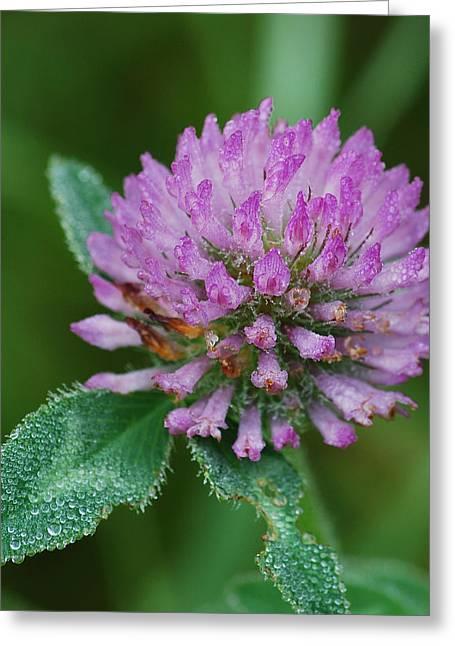 Clover In Dew Greeting Card by Michael Peychich