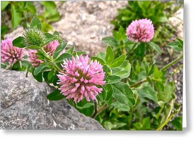Clover On The Rocks Greeting Card by Stephanie Moore