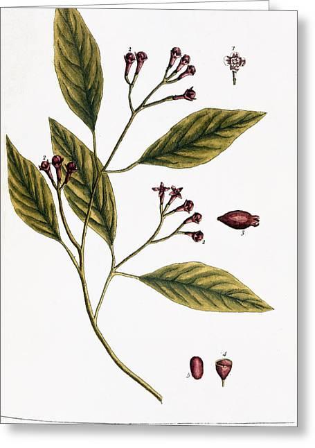 Cloves, 1735 Greeting Card by Granger
