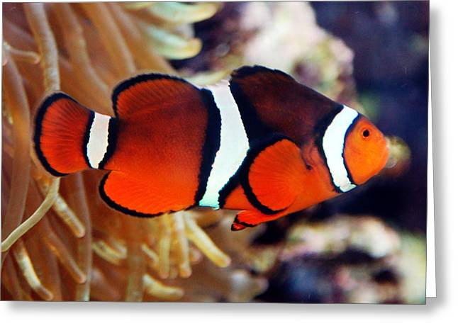 Greeting Card featuring the photograph Clownfish by Kathleen Stephens