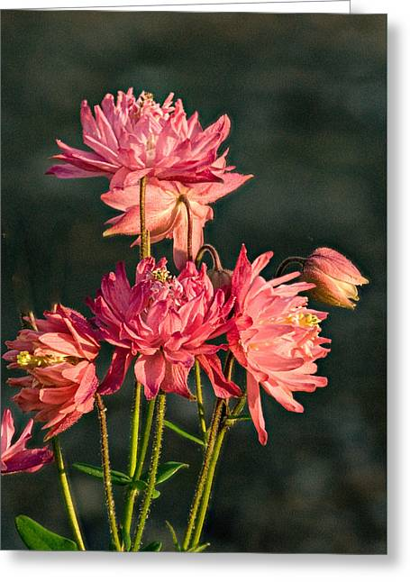 Cluster Of Double Columbine Blossoms Greeting Card by Douglas Barnett