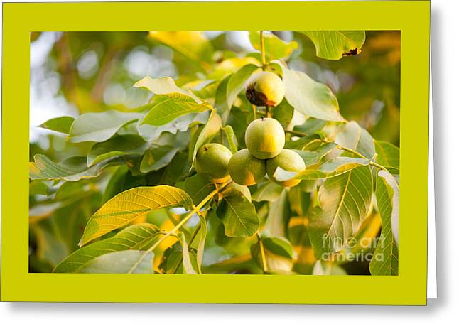 Cluster Of Fresh Ripe Walnut Fruits Sag  Greeting Card